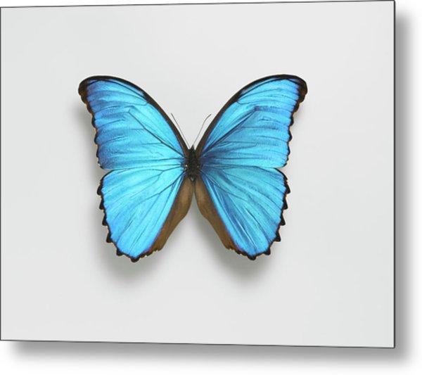 Butterfly Metal Print by Adrian Burke