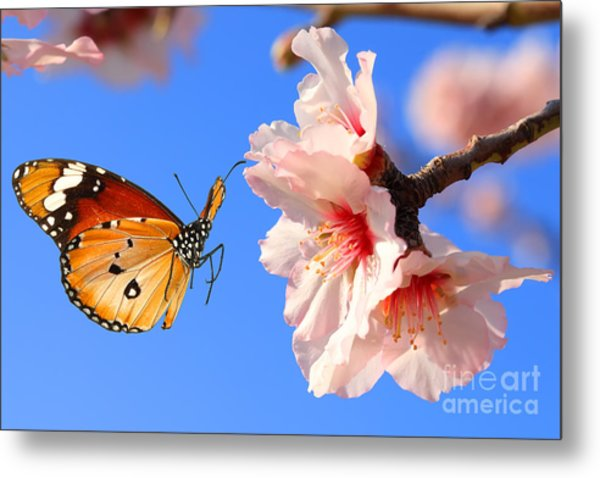 Butterfly And Pink Almond Tree Blossom Metal Print
