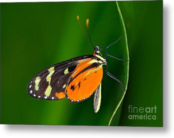 Butterfly Heliconius Hacale Zuleikas Metal Print by Ondrej Prosicky