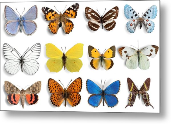 Butterfly, Insect, Wing Metal Print