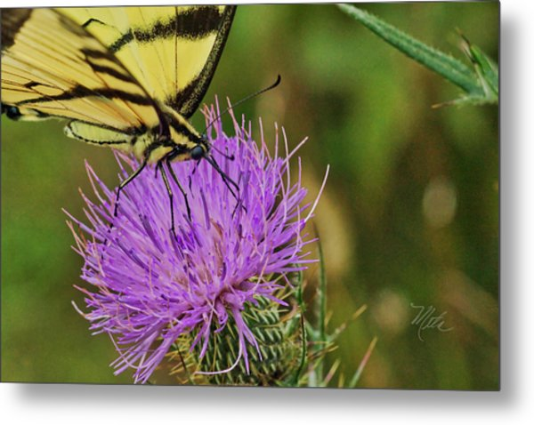 Butterfly On Bull Thistle Metal Print