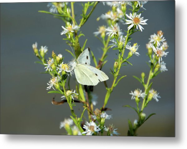 Cabbage White Butterfly On Flowers Metal Print