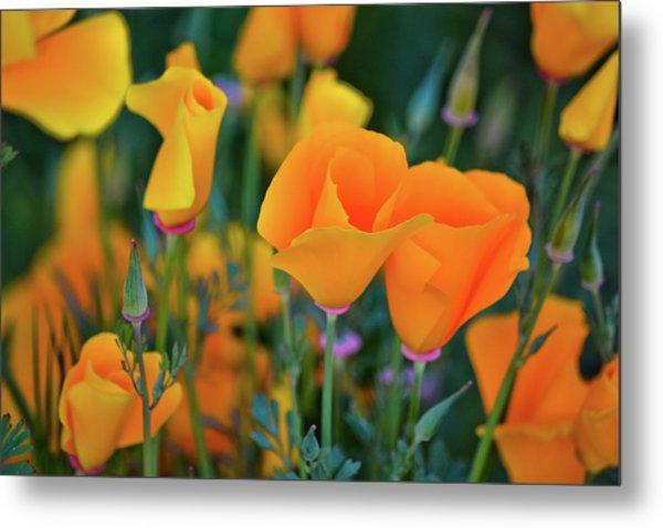 California Poppies Lake Elsinore Metal Print