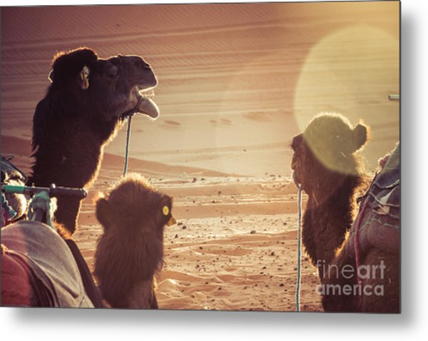 Camels In The Desert During A Rest Metal Print