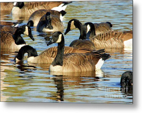 Metal Print featuring the photograph Canada Geese by Debbie Stahre