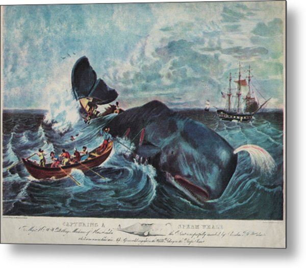Capturing A Sperm Whale Metal Print by Hulton Archive