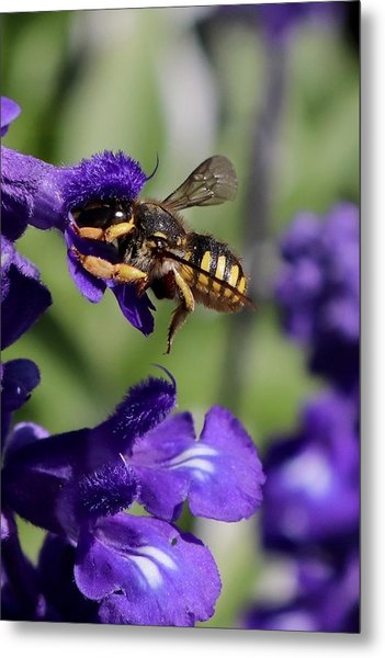 Carder Bee On Salvia Metal Print