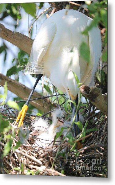 Careful Egret Mom With Chicks Metal Print