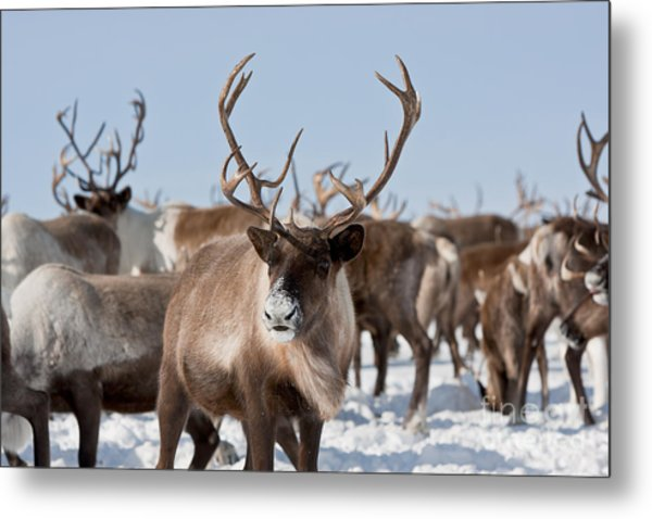 Caribou Group On Pastures In The Metal Print