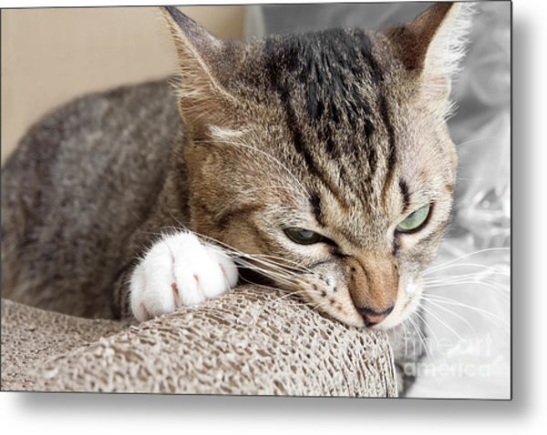 Cat Scratching And Biting.claws On The Metal Print by Yimmyphotography