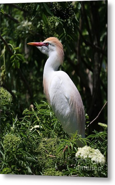 Cattle Egret With Breeding Feathers Metal Print