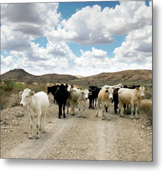 Cattle On A West Texas Ranch, Usa Metal Print