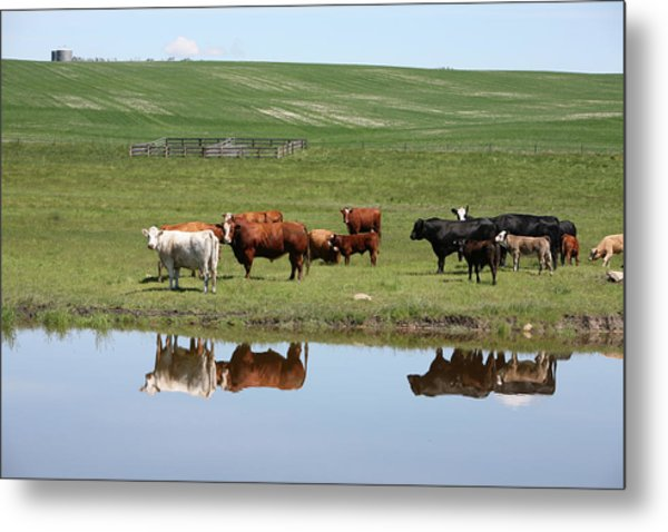 Cattle On The Ranch Reflection Metal Print