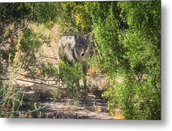 Cautious Coyote Metal Print