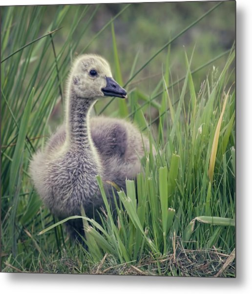 Cheeky Goose With His Tongue Out Metal Print
