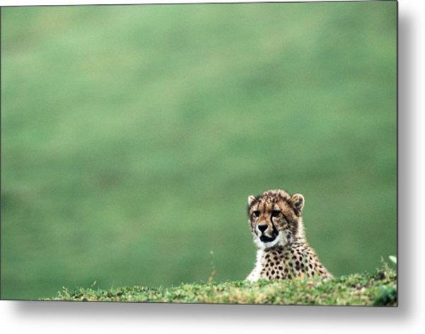 Cheetah Acinonyx Jubatus, United States Metal Print by Mark Newman