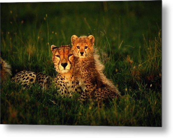 Cheetah Acinonyx Jubatus With Cubs In Metal Print by Art Wolfe