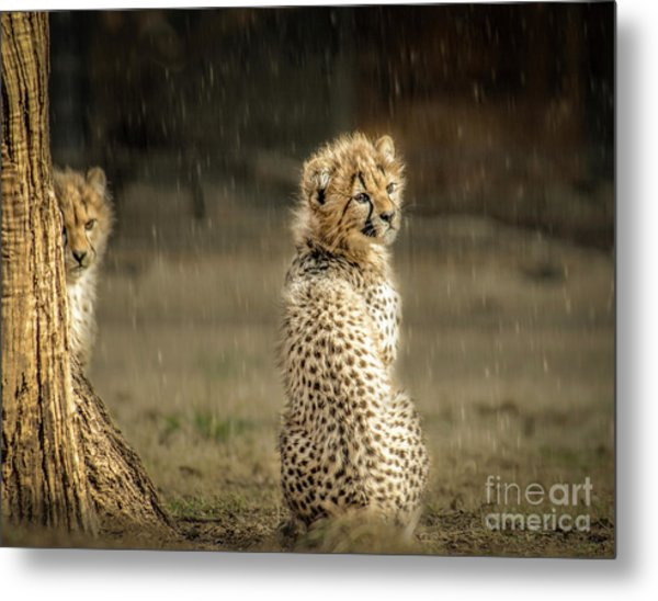 Cheetah Cubs And Rain 0168 Metal Print