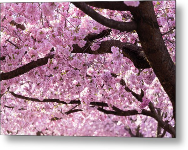 Cherry Blossom Trees Metal Print