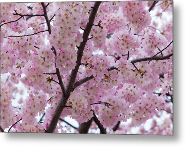 Cherry Blossoms 8611 Metal Print