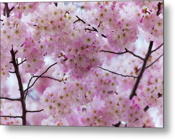 Cherry Blossoms 8625 Metal Print