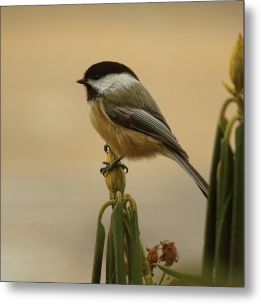 Chickadee On Rhododendron Metal Print