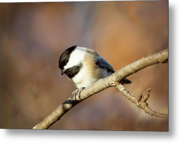 Metal Print featuring the photograph Chickadee by Sue Collura