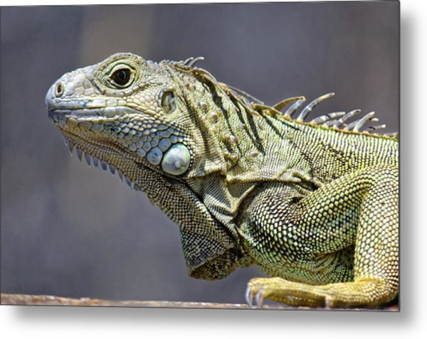 Chicken Of The Trees - Iguana Metal Print