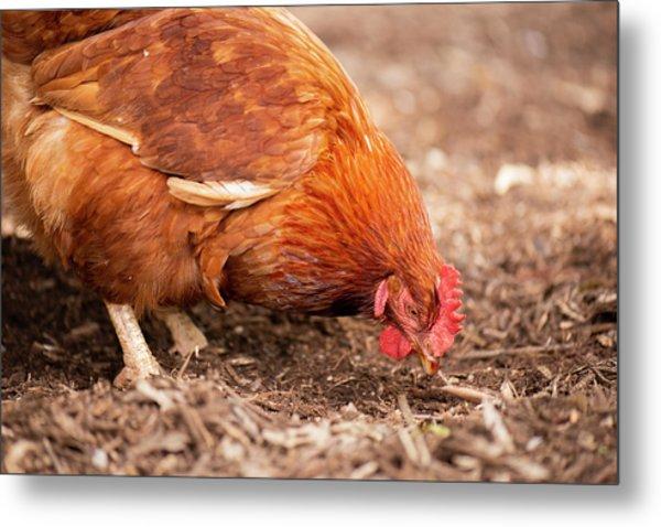 Chicken On The Farm Metal Print