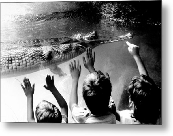 Children Reach Towards The Gharial Metal Print by New York Daily News Archive