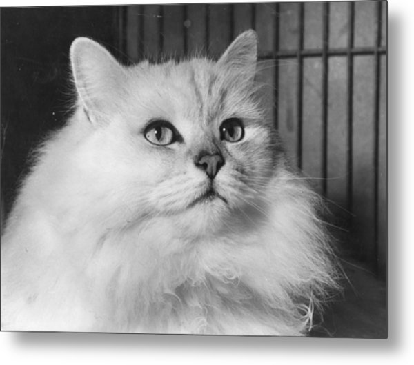 Chinchilla Cat Metal Print by Folb