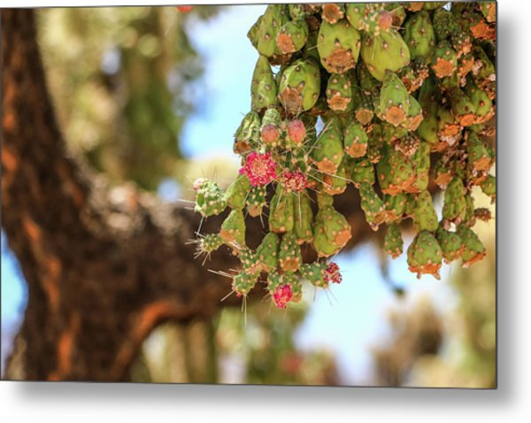 Metal Print featuring the photograph Cholla Cactus Blooms by Dawn Richards