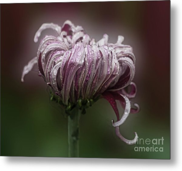 Chrysanthemum 'lily Gallon' Metal Print