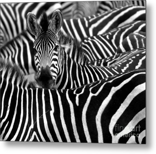 Close Up From A Zebra Surrounded With Metal Print