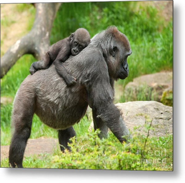 Close-up Of A Cute Baby Gorilla And Metal Print