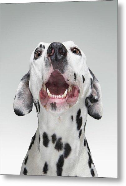 Close Up Of A Dalmatian Dog Metal Print by Tim Macpherson