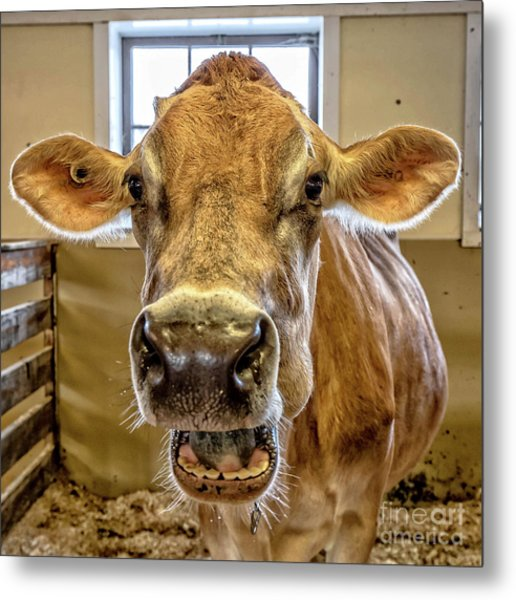 Close Up Of A Jersey Dairy Cow Metal Print