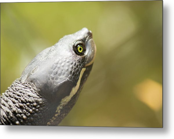Close Up Of A Turtle. Metal Print