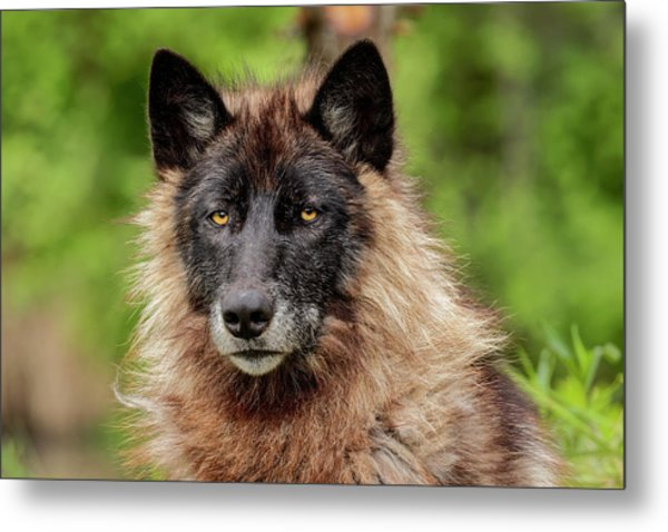 Close-up Of Adult Male Gray Wolf, Canis Metal Print by Adam Jones