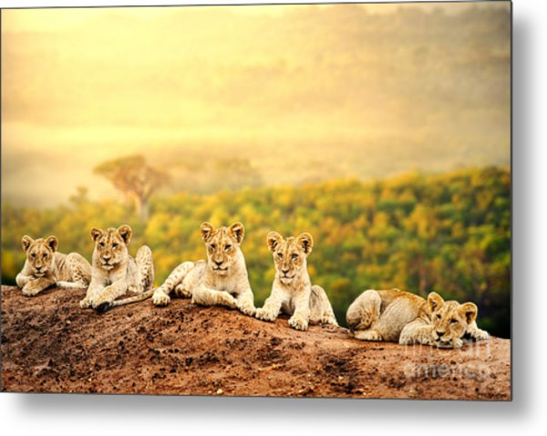 Close Up Of Lion Cubs Laying Together Metal Print