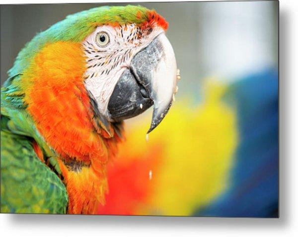 Close Up Of The Macaw Bird. Metal Print