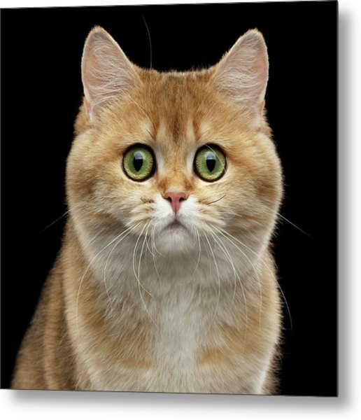 Close-up Portrait Of Golden British Cat With Green Eyes Metal Print