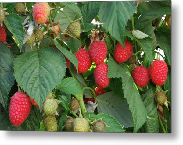 Close-up Ripening Organic Raspberries Metal Print