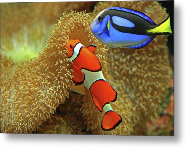 Clownfish And Regal Tang Metal Print by Aamir Yunus