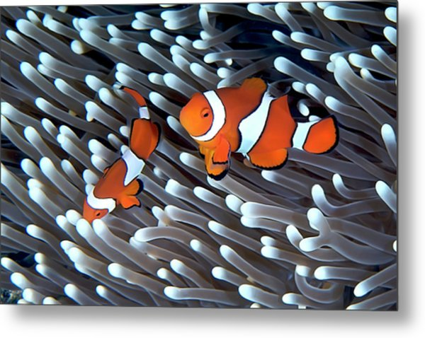 Clownfish Metal Print by Copyright Melissa Fiene