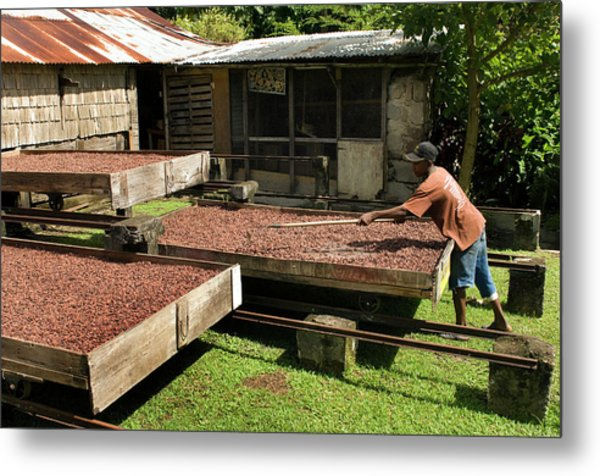 Coffee Beans Being Dried In Large Metal Print