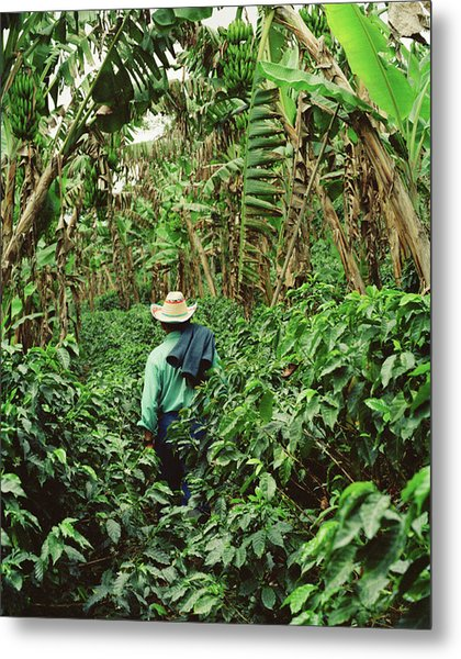 Colombia, Farmer Walking In Coffee And Metal Print
