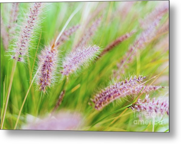 Colorful Flowers In Purple Spikes, Purple Fountain Grass, Close- Metal Print
