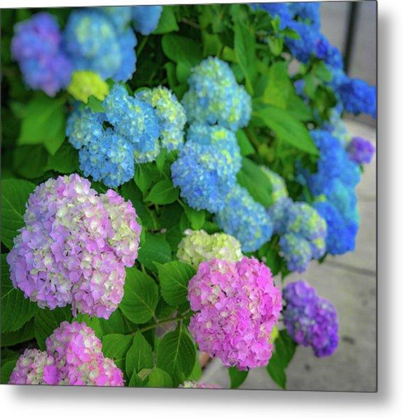 Colorful Hydrangeas Metal Print