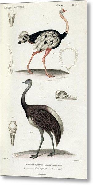 Common Ostrich Metal Print